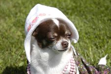 Chihuahua As Newborn Royalty Free Stock Image