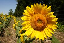 Free Sunflower Stock Photography - 1134022