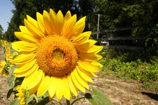 Free Sunflower Royalty Free Stock Photography - 1134067