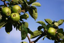 Free Green Apples Stock Photo - 1134160