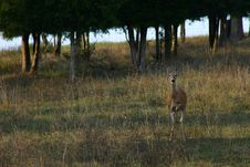 Alert Deer With Leg Raised Ready To Stomp A Warning Royalty Free Stock Images