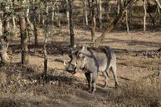 Free Warthog Royalty Free Stock Image - 1134626