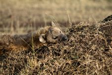 Free Sleeping Hyena Royalty Free Stock Photos - 1134668