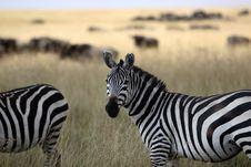 Free Zebra Royalty Free Stock Photos - 1134678