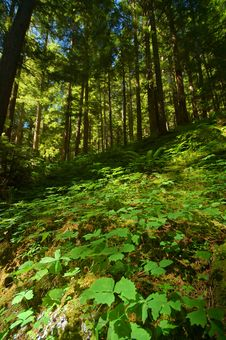 Verdant Pacific Northwest Forest Royalty Free Stock Photography