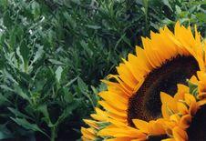 Free Sunflowers Royalty Free Stock Photo - 1135365