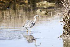 Free Heron Hunting 03 Royalty Free Stock Images - 1136259