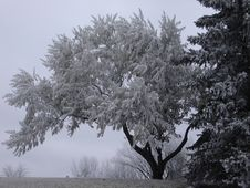 Free Frosty Tree Stock Images - 1136804
