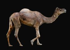 Free Isolated Camel Stock Photos - 1136853