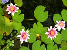 Free Water Lily Group Royalty Free Stock Photo - 1136945
