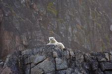 Free Polar Bear Royalty Free Stock Photo - 1136955