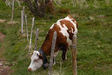 Grazing Cow With A Fence Royalty Free Stock Photos