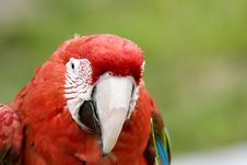 Free Red Macaw Stock Photos - 1138613