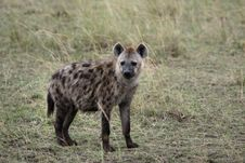 Free Spotted Hyena Royalty Free Stock Images - 1139239