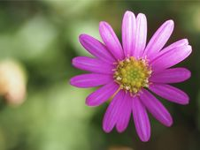 Free Macro Photography Of A Pink Flower Stock Photography - 113035892
