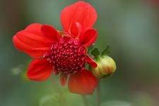 Free Selective Focus Photography Of Red Petaled Flower Royalty Free Stock Photography - 113036117