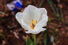 Free Close-Up Photography Of White Tulip Royalty Free Stock Photo - 113036205