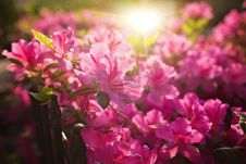 Free Close-Up Photography Of Pink Flowers Stock Photos - 113036213
