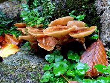 Free Fungus, Mushroom, Medicinal Mushroom, Edible Mushroom Stock Image - 113057911