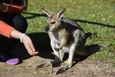 Free Kangaroo, Macropodidae, Wallaby, Mammal Royalty Free Stock Photo - 113058085