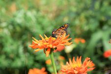 Free Butterfly, Flower, Brush Footed Butterfly, Nectar Stock Photography - 113058122