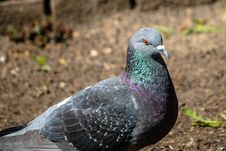 Free Pigeons And Doves, Bird, Stock Dove, Beak Royalty Free Stock Photos - 113058628