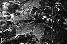 Free Leaf, Black And White, Monochrome Photography, Plant Stock Photo - 113059100