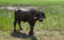 Free Cattle Like Mammal, Grazing, Pasture, Grass Stock Photography - 113059312