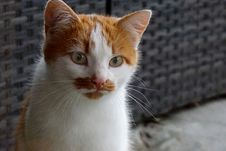 Free Cat, Whiskers, Fauna, Small To Medium Sized Cats Stock Images - 113059374