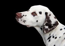 Free Dog Like Mammal, Dalmatian, Dog Breed, Dog Stock Photography - 113060052