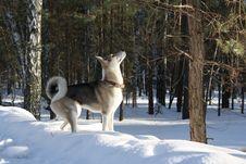 Free Dog Like Mammal, Dog, Snow, Dog Breed Group Stock Image - 113060061