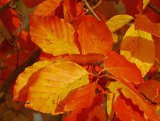 Free Leaf, Autumn, Deciduous, Maple Leaf Royalty Free Stock Image - 113060986