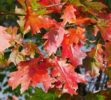 Free Leaf, Maple Leaf, Autumn, Flora Royalty Free Stock Photography - 113060997