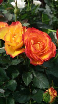 Free Rose, Rose Family, Flower, Floribunda Stock Photo - 113061160