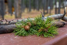 Free Branch, Tree, Pine Family, Conifer Royalty Free Stock Images - 113061479