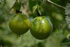 Free Fruit, Citrus, Fruit Tree, Produce Royalty Free Stock Photos - 113061558