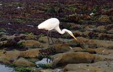Free Bird, Fauna, Egret, Heron Stock Photo - 113061940