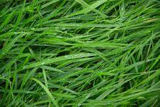 Free Grass, Grass Family, Sweet Grass, Moisture Stock Image - 113061971