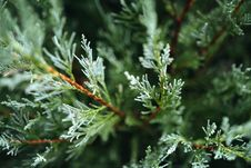 Free Branch, Tree, Conifer, Pine Family Stock Photography - 113061972