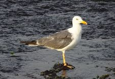 Free Bird, Gull, Seabird, European Herring Gull Royalty Free Stock Images - 113061979