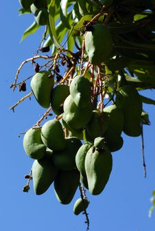Free Fruit Tree, Tree, Fruit, Plant Royalty Free Stock Photography - 113062017