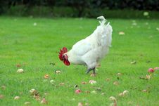 Free Chicken, Bird, Galliformes, Rooster Royalty Free Stock Images - 113062069