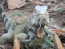 Free Reptile, Scaled Reptile, Iguana, Iguania Royalty Free Stock Photography - 113063167
