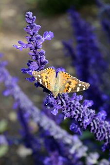 Free Butterfly, English Lavender, Moths And Butterflies, Lavender Royalty Free Stock Photo - 113063555