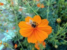 Free Flower, Nectar, Sulfur Cosmos, Flora Stock Image - 113063601