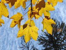 Free Leaf, Yellow, Autumn, Maple Leaf Royalty Free Stock Photo - 113063775