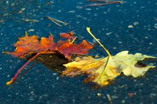 Free Leaf, Water, Maple Leaf, Autumn Stock Photos - 113063853