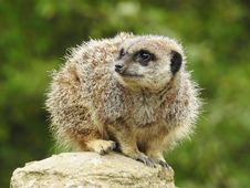 Free Meerkat, Mammal, Terrestrial Animal, Fauna Stock Photo - 113064380