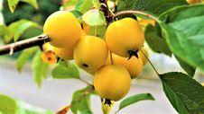 Free Fruit, Fruit Tree, Apricot, Loquat Royalty Free Stock Photography - 113064957