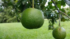 Free Citrus, Persian Lime, Lime, Fruit Stock Photo - 113064980
